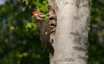 Pileated Woodpecker Gooseberry Falls S.P. MNIMG_012467