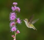 Ruby-throated Hummingbird female and Liatris Skogstjarna Carlton Co MNIMG_0064373