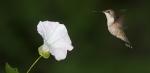 Ruby-throated Hummingbird Morning-Glory Skogstjarna Carlton Co MNIMG_0059904