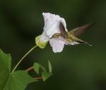 Ruby-throated Hummingbird Morning-Glory Skogstjarna Carlton Co MNIMG_0059905