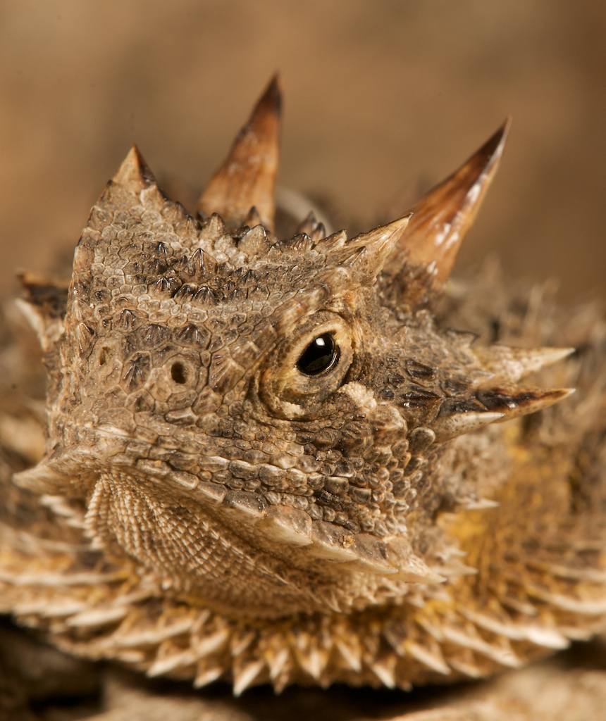 Portuguese might have been first Europeans to discover Australia, hints tiny drawing  Texas-horned-lizard-sick-dog-ranch-tx-_3003070