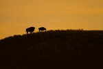 Bison silhouette Yellowstone N.P. WY IMG_0068017