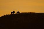 Bison silhouette Yellowstone N.P. WYIMG_0068017
