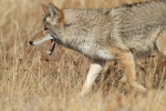 Coyote canines Yellowstone N.P. WY IMG_0068527copy