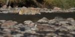 Coyote crossing river stream Yellowstone N.P.IMG_0069115