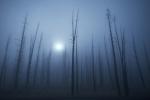 foggy trees Yellowstone N.P. WY IMG_0068303copy