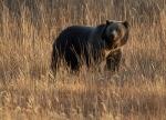 Grizzly Bear Yellowstone N.P. WY IMG_0068725copy