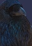 Raven poster edges Yellowstone N.P. WYIMG_0068985