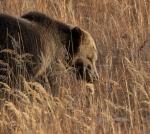 Grizzly Bear Yellowstone N.P. WY IMG_0068659copy