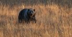 Grizzly Bear Yellowstone N.P. WY IMG_0068735copy