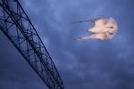 Ring-billed Gull Duluth MN tungsten w-2 1-2 CTO gels on flashIMG_0065818