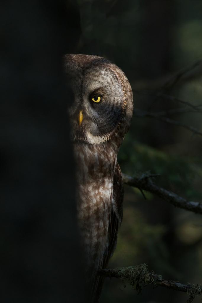 01-Best2012 Great Gray Owl peek-a-boo McDavitt Rd Sax-Zim Bog MN IMG_0058141