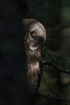 01-Best2012 Great Gray Owl peek-a-boo McDavitt Rd Sax-Zim Bog MNIMG_0058141
