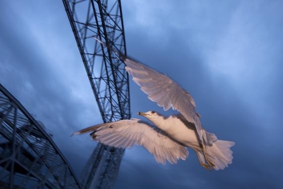 06-Best2012 Ring-billed Gull Duluth MN tungsten w-2 1-2 CTO gels on flash IMG_0065801