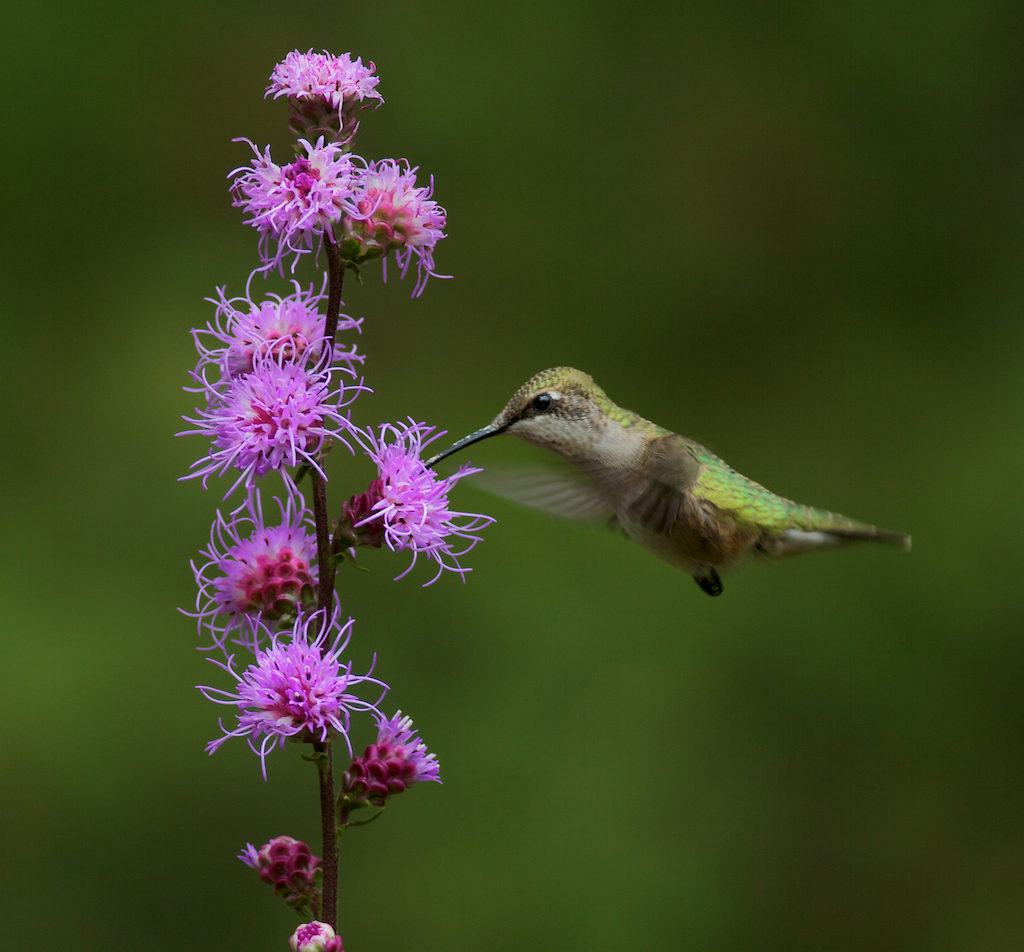 07-Best2012 Ruby-throated Hummingbird female and Liatris Skogstjarna Carlton Co MN IMG_0064370