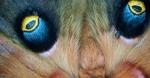10-Best2012 Polyphemus Moth Antheraea polyphemus detail Skogstjarna Carlton Co MNIMG_0057753