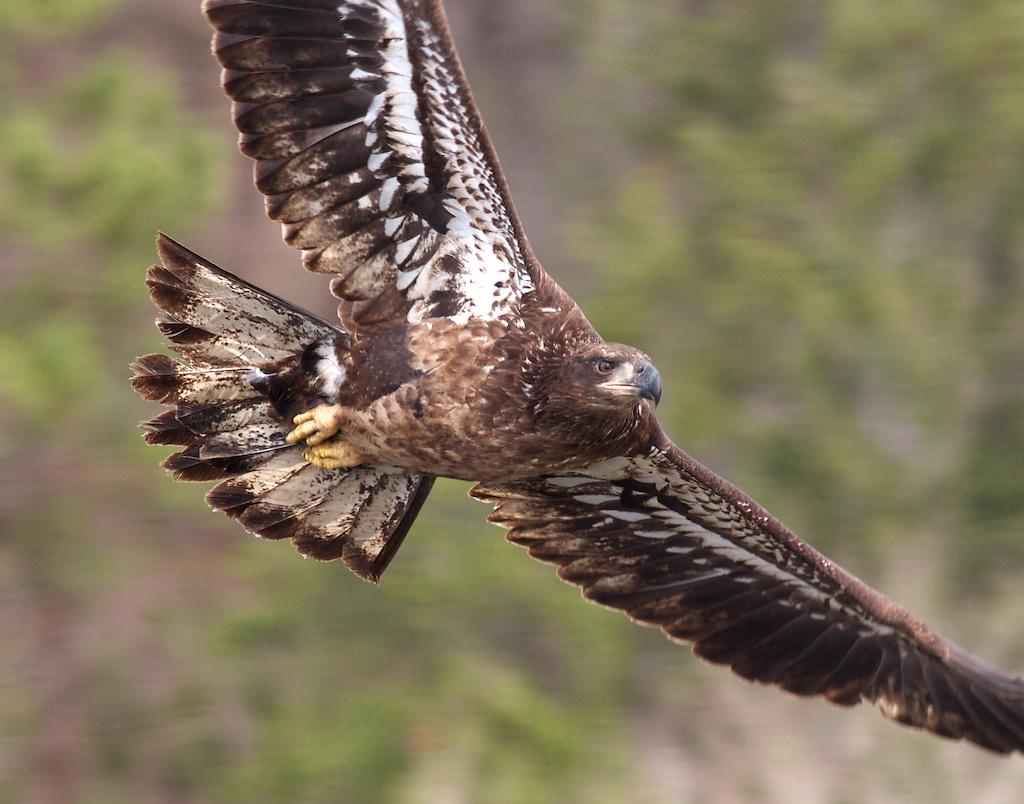 16-Best2012 Bald Eagle from firetower at Big Bog SRA Koochiching Co MN IMG_0055770 (1)