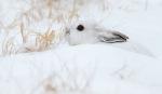 17-Best2012 Snowshoe Hare Sax-Zim Bog MNIMG_0002136