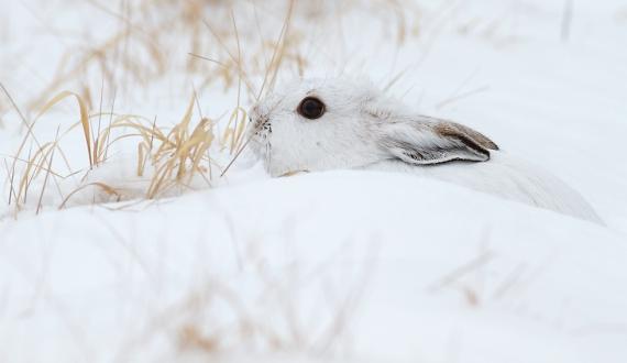 17-Best2012 Snowshoe Hare Sax-Zim Bog MN IMG_0002136