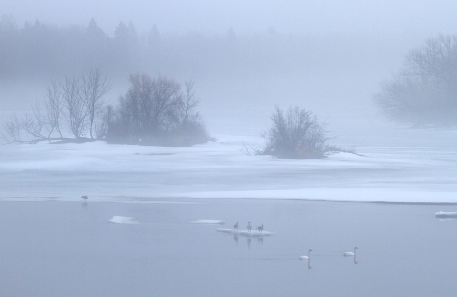 18-Best2012 Swans geese St. Louis River fog Fond du Lac MN IMG_0055161