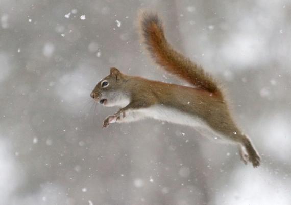 Red Squirrel flying Skogstjarna Carlton Co MN IMG_0071297