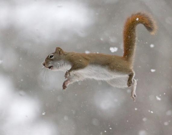 Red Squirrel flying Skogstjarna Carlton Co MN IMG_0071351
