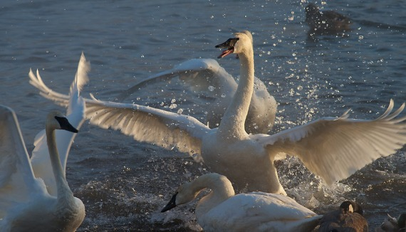 Trumpeter Swan battle Monticello MN IMG_0073397