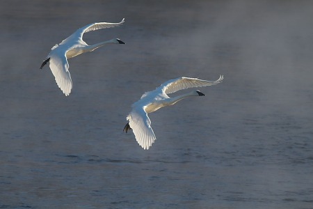 Trumpeter Swans 2 flying backlit Monticello MN IMG_0073469