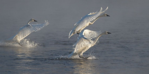 Trumpeter Swans 3 landing backlit Monticello MN IMG_0073480