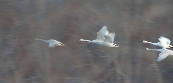 Trumpeter Swans flying blur panning Monticello MN IMG_0073429