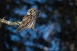 Boreal Owl Dodges Log Lodges Scenic 61 Lake Co MN IMG_0074782