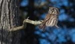 Boreal Owl Dodges Log Lodges Scenic 61 Lake Co MNIMG_0074823