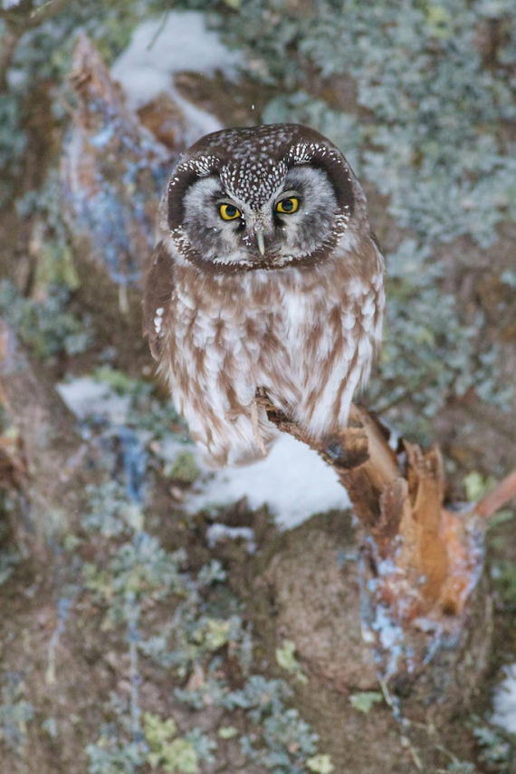 Boreal Owl preens nr Stoney Pt Scenic 61 St. Louis Co MN IMG_0074883