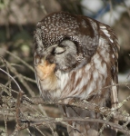 Boreal Owl preens nr Stoney Pt Scenic 61 St. Louis Co MN IMG_0075009