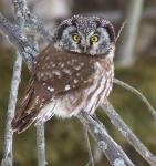 Boreal Owl Scenic 61 nr Stoney Point Duluth MNIMG_0074437