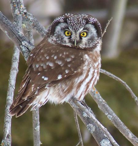 Boreal Owl Bonanza!