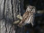 Boreal Owl sleeps Dodges Log Lodges Scenic 61 Lake Co MN IMG_0074762