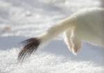 Ermine tail Owl Ave feeders Sax-Zim Bog MNIMG_4457