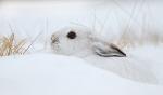 Snowshoe Hare Sax-Zim Bog MN IMG_0002192copy
