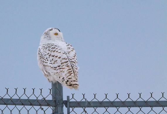 Snowy Owl Bong Airport Superior WI IMG_0074505 (1)