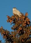 Snowy Owl Superior Middle School Sparky StensaasIMG_0074842