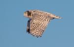 Snowy Owl Superior Middle School Sparky StensaasIMG_0076189