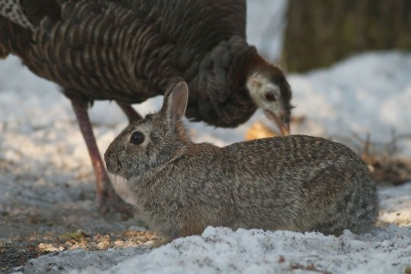 Cottontail and Wild Turkey Skogstjarna Carlton Co MN IMG_5999