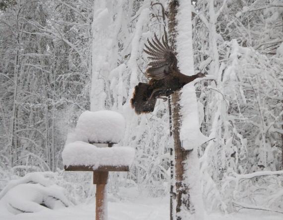 Skogstjarna feeder Wild Turkey IMG_7118