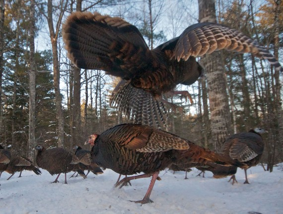Wild Turkey Skogstjarna Carlton Co MN Wild Turkeys Skogstjarna Carlton Co MN IMG_5027