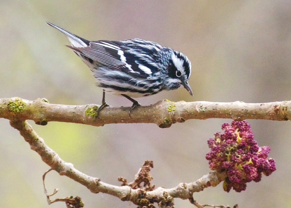 Black and White Warbler Concordia Language Village Bemidji MN IMG_2008 copy