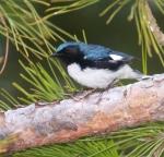 Black-throated Blue Warbler Park Point Duluth MNIMG_2214