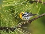 Blackburnian Warbler Park Point Duluth MNIMG_2050