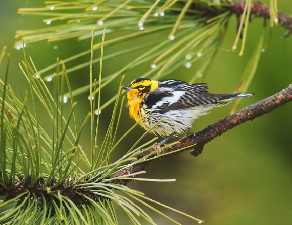 Blackburnian Warbler Park Point Duluth MN IMG_2050