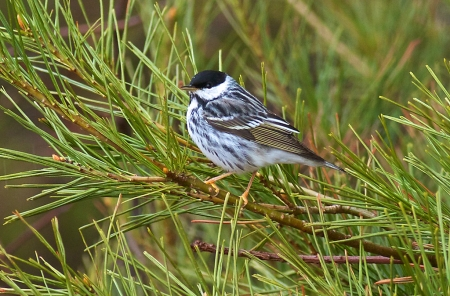 Blackpoll Warbler Park Point Duluth MN IMG_0002263
